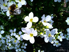 Spring Flower and Bee 2012 - 15 by Ingnition