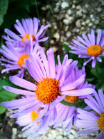 Spring Flower 2012 - 75 by Ingnition
