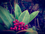 Photogallery 2014 - 04 red berries by Ingnition