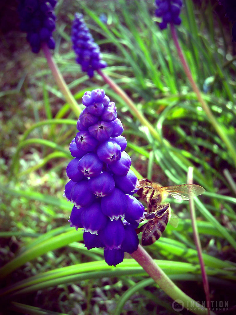 Photogallery 2014 - 13 bee on flower by Ingnition
