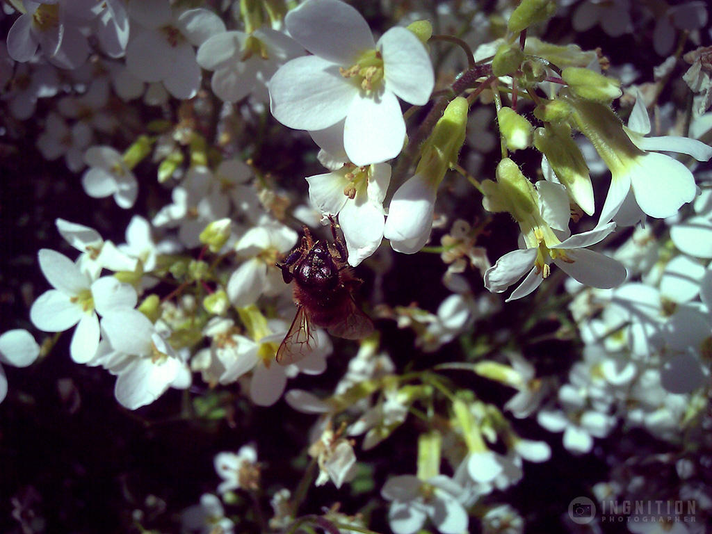 Photogallery 2014 - 14 bee on flower 2 by Ingnition