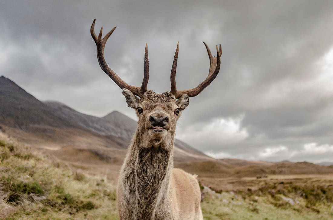 Stag by newcastlemale