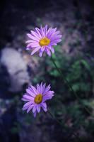 Lavender by ghosttree