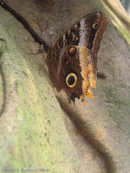 Spotted Owl Butterfly by zuckerglider