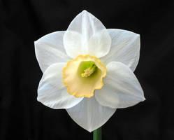 Narcissus by mastermirko