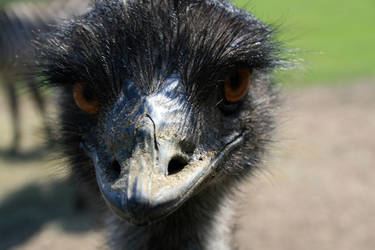 Angry Emu by HeyEmmie