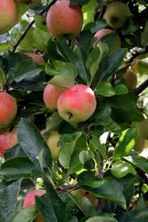 Apple picking by HeyEmmie