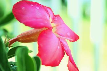 Desert rose by HeyEmmie