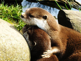 Otters - The cuddly duo by shadow-leopard