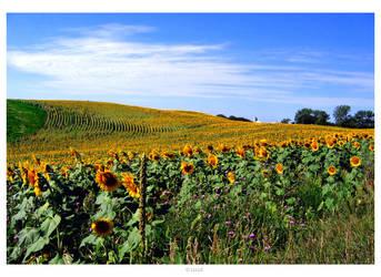 Sunflower Fields by fablehill