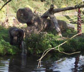 gorilla drinking by tsahel