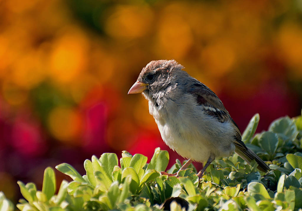 House Sparrow (Passer Domesticus) by BirdsandDragons