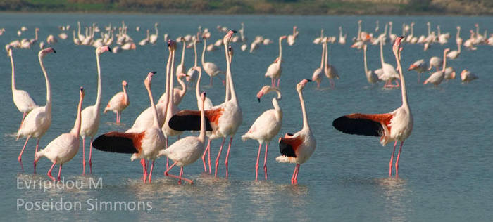 30-12-2013 flamingos at Larnaca salt lake by poseidonsimons-s