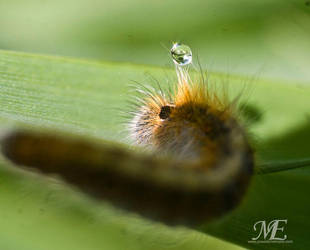 5-2-2012 caterpillar with water drop by poseidonsimons-s