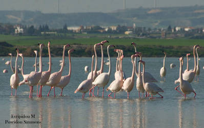 30-12-2012 Flamingos at Larnaka salt lake 741 by poseidonsimons-s