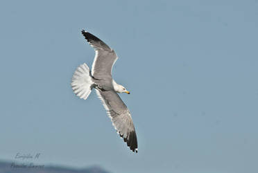 26-12-2017 seagull at Lady's mile Cyprus by poseidonsimons-s