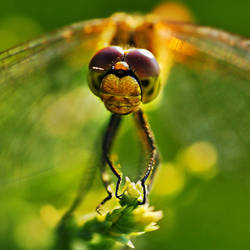 a dragonfly by anniowa