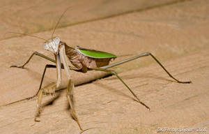 Mantis1 by nfcdakota