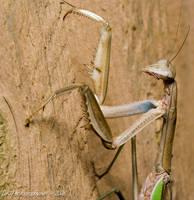 Mantis 2 by nfcdakota