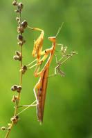 empusa vs mantis religiosa by lisans