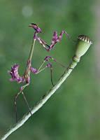 empusa fasciata by lisans