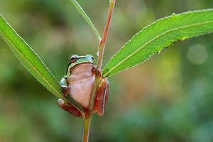 baby hyla by lisans