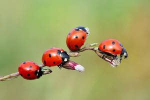 today ladybugs by lisans
