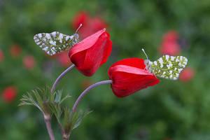Anemone coronaria by lisans