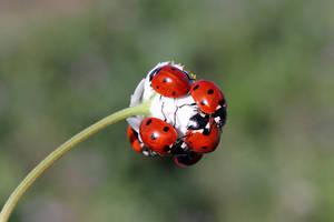 ladybug flower by lisans