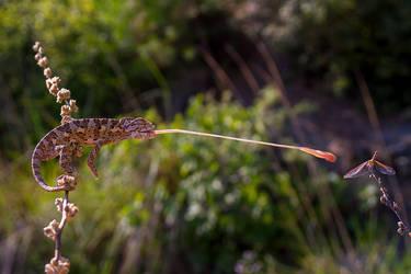 common chameleon by lisans