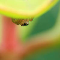 Jumping_spider by RichardjJones
