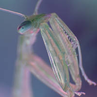 Macro-Praying Mantis by RichardjJones