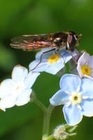 Common Hover Fly by RichardjJones