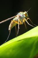 Dolichopodidae-fly1 by RichardjJones