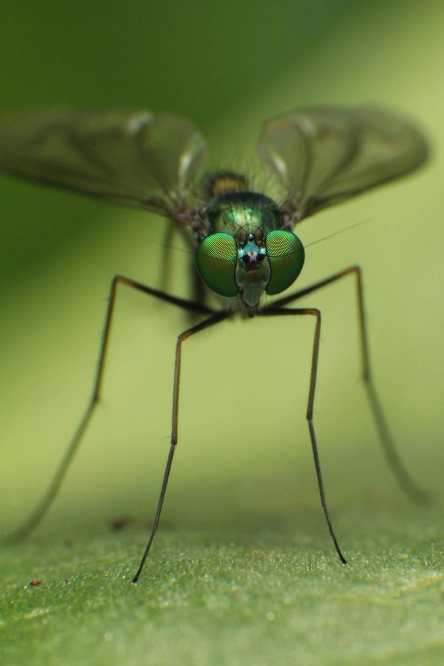 Dolichopodidae-fly2 by RichardjJones