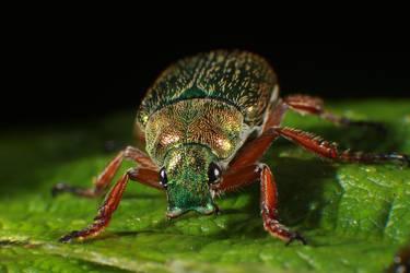 Christmas Beetle Macro by RichardjJones