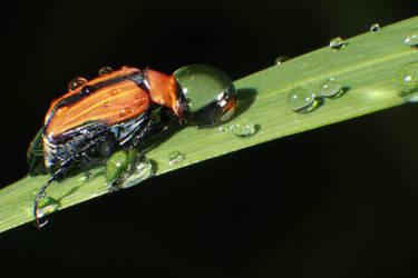 Macro Beetle drops by RichardjJones