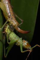 Macro Grasshopper by RichardjJones