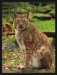 Lynx lynx by psychostange