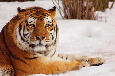 More Tiger, more snow by psychostange
