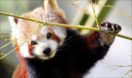 Red Panda. by Evey-Eyes
