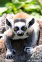 Lemur. by Evey-Eyes