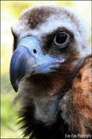 Cinereous vulture. by Evey-Eyes