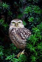 Burrowing owl. by Evey-Eyes