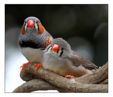 Zebra finches II. by Evey-Eyes