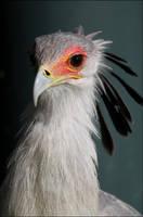 Secretary bird. by Evey-Eyes