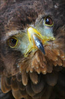 Bateleur eagle. by Evey-Eyes