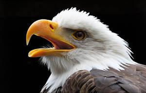 Bald eagle. by Evey-Eyes