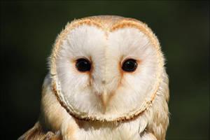 Barn owl. by Evey-Eyes