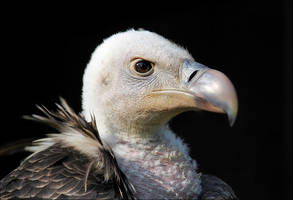 Ruppell's vulture. by Evey-Eyes